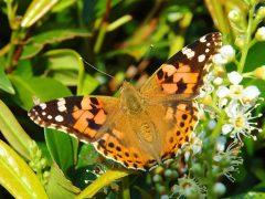 Udklæk sommerfugle