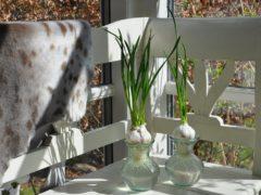 Dyrk hvidløgstoppe i vindueskarmen