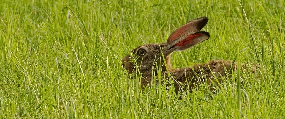 Påskeharen og den rigtige hare